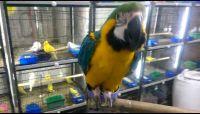 Macaw Birds for sale in Colorado Springs, CO, USA. price: NA