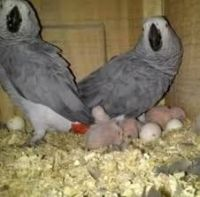 Macaw Birds for sale in Birmingham, AL 35201, USA. price: NA