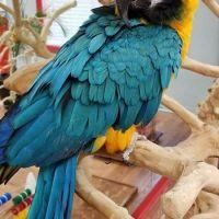 Macaw Birds for sale in Detroit, MI, USA. price: NA