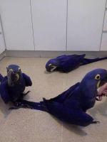 Macaw Birds for sale in Phoenix, AZ 85048, USA. price: NA