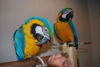 Macaw Birds for sale in Long Beach, CA, USA. price: NA