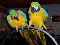 Macaw Birds for sale in U St NW, Washington, DC, USA. price: NA