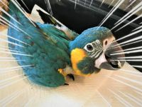 Macaw Birds for sale in Englewood, FL, USA. price: NA