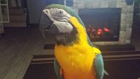 Macaw Birds for sale in Massillon, OH, USA. price: NA
