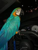 Macaw Birds for sale in MAFB GUN ANNX, AL 36114, USA. price: NA