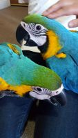 Macaw Birds for sale in Visalia, CA, USA. price: NA