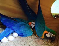 Macaw Birds for sale in North Myrtle Beach, SC, USA. price: NA