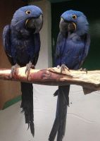 Macaw Birds for sale in Beverly Hills, CA 90209, USA. price: NA