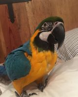 Macaw Birds for sale in North Bergen, NJ, USA. price: NA