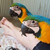 Macaw Birds for sale in Fresno, CA, USA. price: NA