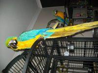 Macaw Birds for sale in Phoenix, AZ, USA. price: NA