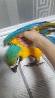 Macaw Birds for sale in San Diego, CA, USA. price: NA