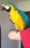 Macaw Birds for sale in Brampton, MI 49837, USA. price: NA