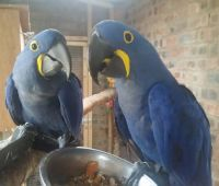 Macaw Birds for sale in Los Angeles, CA, USA. price: NA