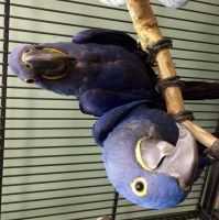 Macaw Birds for sale in Georgia Tech, Atlanta, GA, USA. price: NA