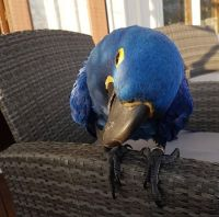 Macaw Birds for sale in Tampa Riverwalk, Tampa, FL 33602, USA. price: NA