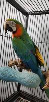 Macaw Birds for sale in Atlanta, GA, USA. price: NA