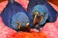 Macaw Birds for sale in Ellijay, GA 30540, USA. price: NA