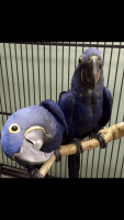 Macaw Birds for sale in Denver, CO, USA. price: NA