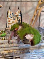 Macaw Birds for sale in Grandville, MI, USA. price: NA