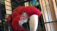 Macaw Birds for sale in Buford, GA, USA. price: NA
