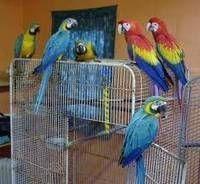 Macaw Birds for sale in GA-403, Atlanta, GA, USA. price: NA