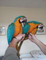Macaw Birds for sale in Georgetown, Washington, DC 20007, USA. price: NA