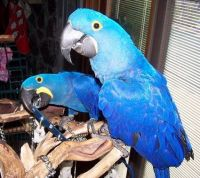Macaw Birds for sale in Orange County, CA, USA. price: NA