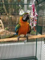 Macaw Birds for sale in Kansas City, MO, USA. price: NA