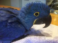 Macaw Birds for sale in Roseville, CA, USA. price: NA