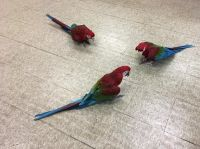 Macaw Birds for sale in Manhattan, New York, NY, USA. price: NA