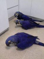 Macaw Birds for sale in California City, CA, USA. price: NA