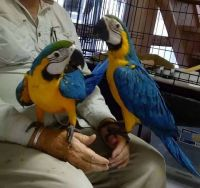 Macaw Birds for sale in Oakland, CA, USA. price: NA