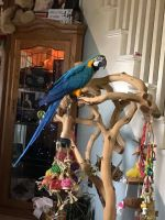 Macaw Birds for sale in Blackwood, Gloucester Township, NJ 08012, USA. price: NA