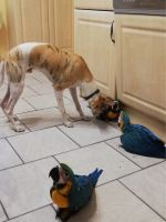 Macaw Birds for sale in Rochester, NY, USA. price: NA