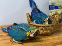 Macaw Birds for sale in North Hollywood, Los Angeles, CA, USA. price: NA