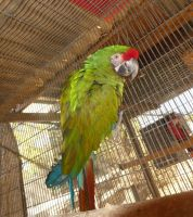 Macaw Birds for sale in Temecula, CA, USA. price: NA