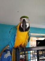 Macaw Birds for sale in NV-592, Las Vegas, NV, USA. price: NA