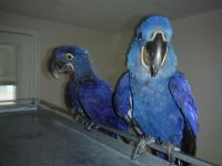 Macaw Birds for sale in Van Nuys, Los Angeles, CA, USA. price: NA