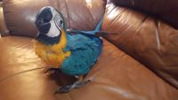 Macaw Birds for sale in Greenville, SC, USA. price: NA