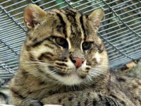 machbagral cat