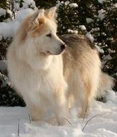 mackenzie river husky dog