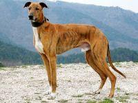 magyar agar dog