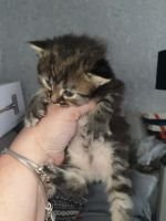 Maine Coon For Sale In United States 648 Petzlover