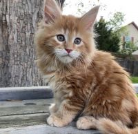 Maine Coon Cats for sale in California City, CA, USA. price: NA