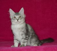 Maine Coon Cats for sale in Ohio City, Cleveland, OH, USA. price: NA