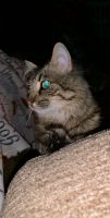Maine Coon Cats for sale in Asheville, NC, USA. price: NA
