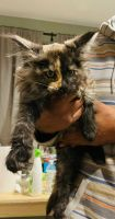 Maine Coon Cats for sale in Poughkeepsie, NY, USA. price: NA
