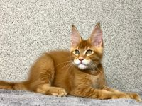 Maine Coon Cats for sale in New York, NY, USA. price: NA
