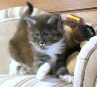 Maine Coon Cats for sale in Boston, MA, USA. price: NA
